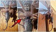 Tüylerimiz Diken Diken! Tazmanya'da Devasa Örümceğin Bir Sıçanı Yerken Çekilen Görüntüleri Viral Oldu