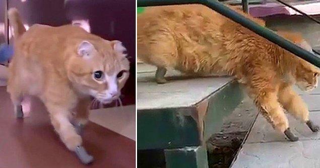 Yerel medyanın aktardığına göre, benzer protezlerin diğer hayvanlara da takıldığı ve alışma sürecinden sonra o hayvanların yürümekte ve koşmakta zorluk çekmedikleri görüldü.