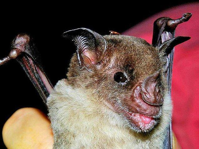 Araştırmacılar aynı zamanda Honduras'ta artık yaşamadığı sanılan üç türü yeniden keşfetmişler. Bunlar: