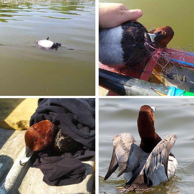 6. Bir fotoğrafçı balık ağına takılmış bir ördek gördü, eve götürdü, tedavi etti ve tekrar serbest bıraktı.