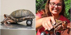 Arka Bacaklarını Kaybeden Kaplumbağanın Tekrar Yürümesini Sağlayan Veterinerler Herkesin Kalbini Eritti