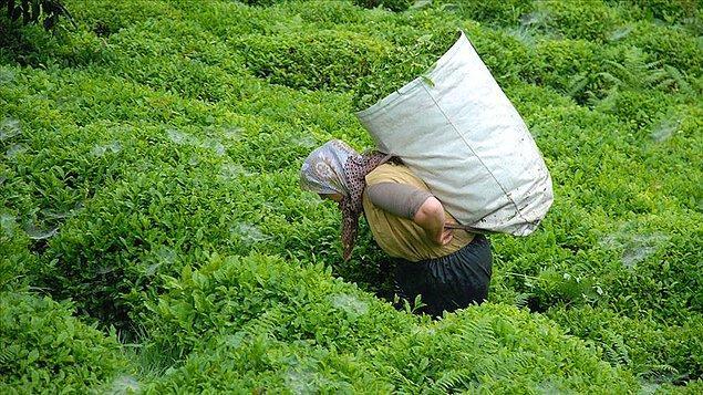 ÇAYKUR Yönetim Kurulu kararı ile kuru çaya yapılan yüzde 15 zam bugünden itibaren geçerli olacak.