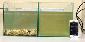 Kirli Suyu Kısa Bir Süre İçinde Tertemiz Hale Getiren İstiridyelerin Yer Aldığı Muhteşem Deney!