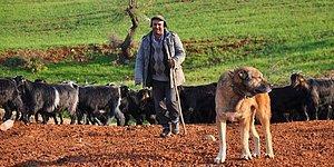 """'Latife Ettim' Dedi: Erzurum Valisi'nden """"Kadınlarımız Çobanla Evlenmiyorlar, İsmini 'Sürü Yöneticisi' Koyduk"""" Açıklaması"""