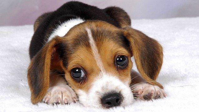 1. Yavru köpek bakışı aslında, köpeklerin insanlarla beraber evrilmesinin bir sonucu.