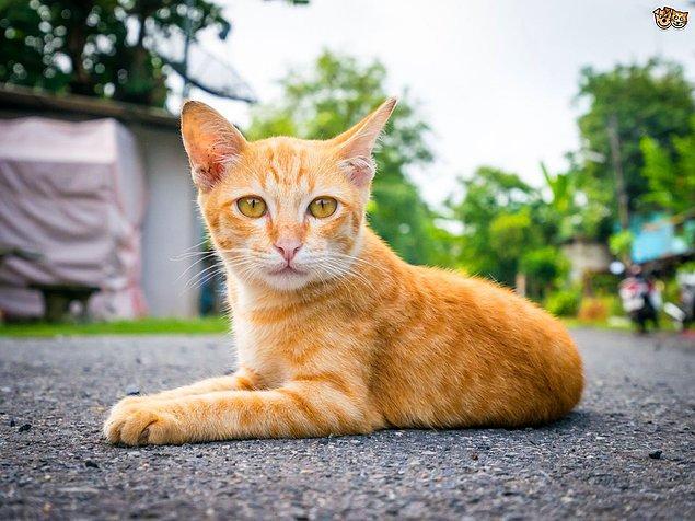 11. Sarman kediler genellikle erkektir. Ama turunculu, siyahlı çizgileri veya benekleri olan kediler genellikle dişidir.