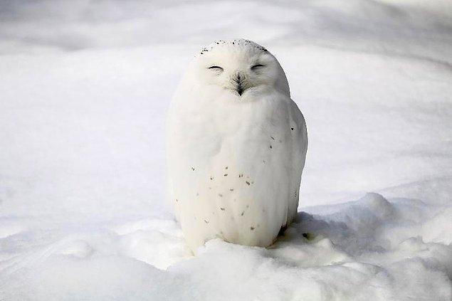 14. Birçoğu gececi olsa da, kar baykuşları gündüz de dolaşır.