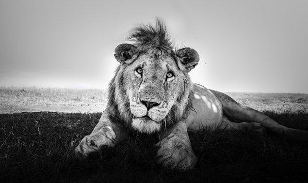 2. Bu aslan ise bir ev kedisinin Instagram'da paylaşılan pozu gibi fotoğraflanmış.