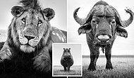 Vahşi Doğanın En Tehlikeli Hayvanları ile Burun Buruna Gelen Fotoğrafçıdan Büyüleyen Yakın Çekimler