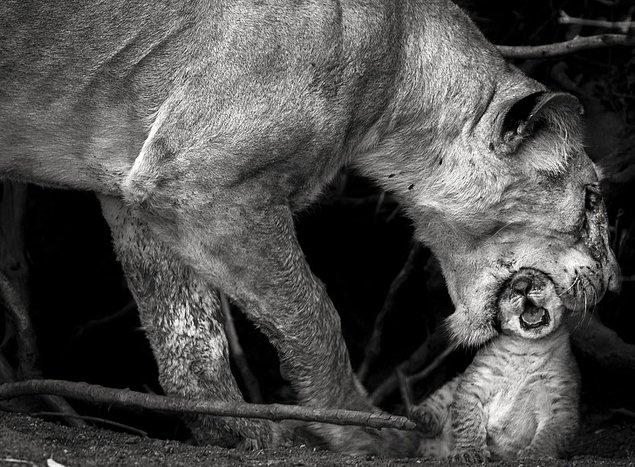 6. Bir anne aslan, uçurumdan düşmesini önlemek için yavrusunu kafasından tutuyor.