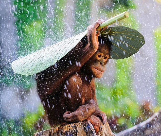 19. Yaprağın altına girmiş bir bebek şempanze, sabırla yağmurun durmasını bekliyor.
