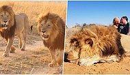 Caniliğin Böylesi! Bir Aslanı Öldürdükten Sonra Önünde Öpüştükleri Fotoğrafı Yayınlayan Çift