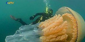Dünyanın En Büyük Denizanası Görüntülendi: İnsan Boyutunda!