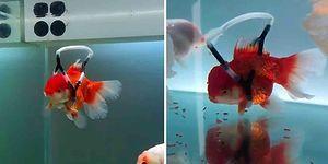 Akvaryumda Denge Kuramayan ve Yüzeye Çıkamayan Balığı İçin 'Tekerlekli Sandalye' Tasarlayan Güzel İnsan!