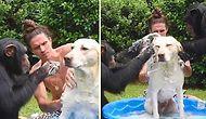 Muhteşem Dostluk: Şempanzelerle Bir Olup Leğende Köpeği Yıkayan Adam