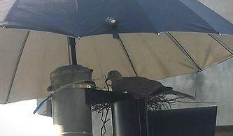 Kumru ve Yavrularını Korumak İçin Trafik Lambasına Şemsiye Koyan Güzel İnsan!