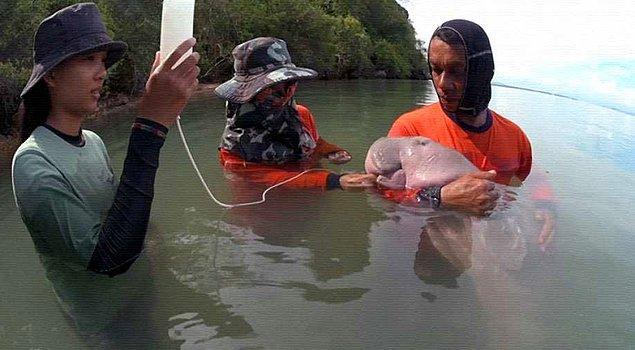 Meryem adı verilen deniz ineği, Nisan ayında Tayland'da bir sahile vurmasının ardından kurtarılarak korumaya alınmıştı.