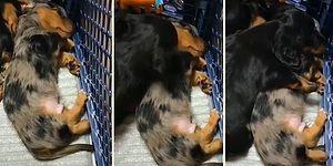 Kabus Gören Kardeşine Sarılarak Sakinleşmesini Sağlayan Köpek