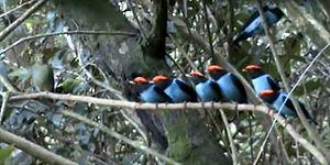Dişiyi Etkilemek İçin Bir Düzen İçerisinde Gösterilerini Yapan Mavi Manakin Kuşları