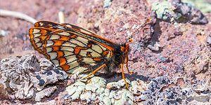 Son Buzul Çağı'ndan Günümüze: 12 Bin Yaşındaki Kelebek Türü Ağrı Dağı'nda Görüntülendi