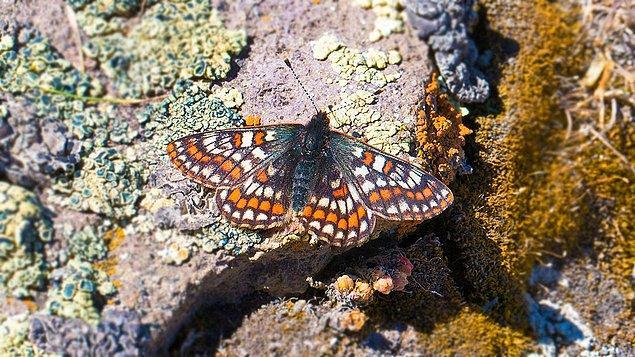 Yaygın olarak İskandinav ülkelerinde bulunan kelebek, Türkiye'de yalnızca Ağrı Dağı'nın eteklerinde yaşamını sürdürüyor