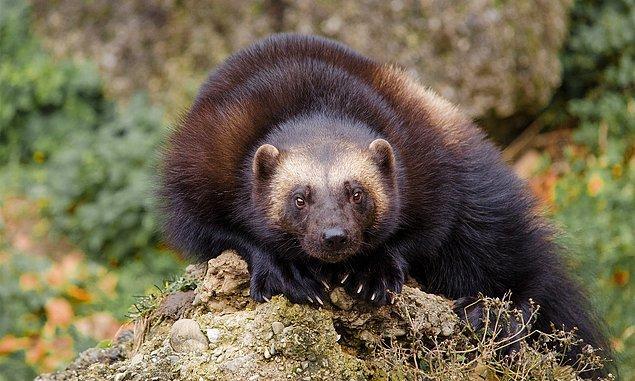 3. Porsuklar (9-25 kilo arasında 110 cm uzunluğundadırlar) kendilerinden 20 kat büyük olan mus geyiklerini öldürdükleriyle bilinirler. Ayrıca porsuklar avlarını kurt ve ayılar gibi kendilerinden büyük diğer hayvanlardan da korurlar.