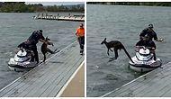 Kurtarıldıktan Sonra Yeniden Göle Atlayan İnatçı Kanguru