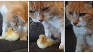 Minik Ördek Yavrusuyla Arkadaş Olan Kedicik