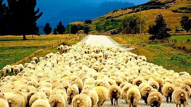 """""""4,5 milyon işsiz var ama çobanlığa ilgi duyan yok"""""""
