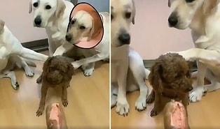 İspiyoncu Dostları Tarafından Zor Duruma Düşen Yaramaz Köpek!