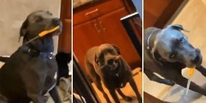 Makas Takıntısı Yüzünden Evin İçinde Psikopat Bir Katil Gibi Dolaşan Köpek