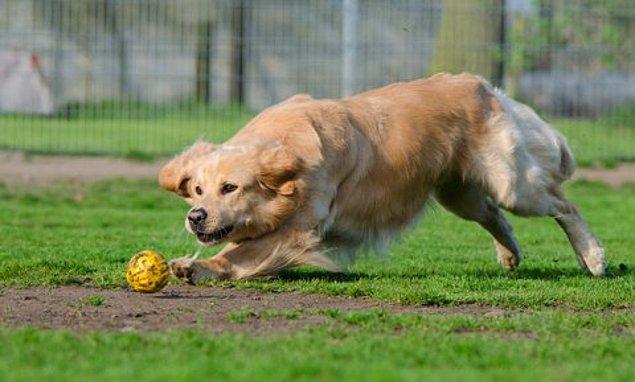 Köpek yaşının kaç insan yaşına denk geldiğini hesaplayabilmek için yeni bir formül bulundu.