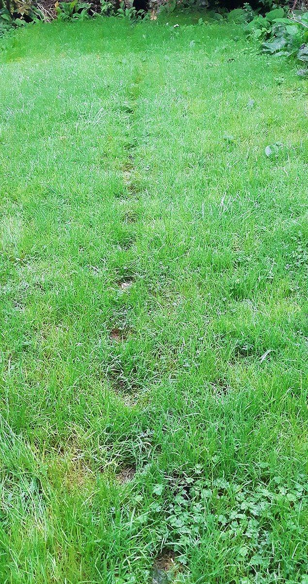 4. Çimleri geçmek için her zaman aynı yolu kullanan 2 kedinin pati izleri.