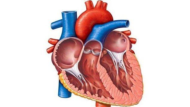3. Kalbin üst kısmına ne denir?