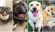 Herkes İkinci Bir Şansı Hak Eder! Sahiplenilmeden Önceki ve Sonraki Fotoğrafları ile Kalbinizi Isıtacak Köpekler