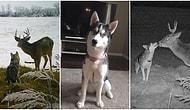 Kanada'da Evden Kaçtıktan Sonra Bir Geyikle Arkadaş Olup Samimi Pozlar Veren Minnoşluk Abidesi Köpek