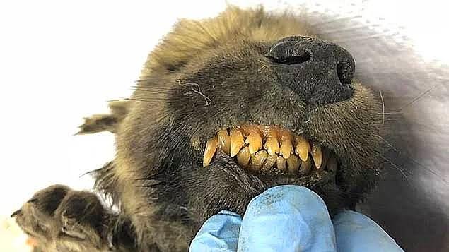 Eksi 34 derecede inanılmaz şekilde korunan 18.000 yaşında bir yavru köpek cesedi bulundu!