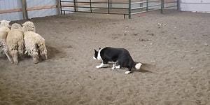 Çoban Köpeklerinin Etkileyici Komut Alma ve Yerine Getirme Görüntüleri