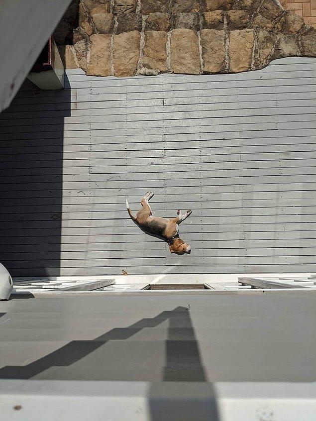 6. Bu köpek düşüyor mu?