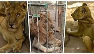 Sudan'da Bir Parkta Hasta ve Açlıktan Ölmek Üzere Olan Aslanlar İçin Başlatılan İnternet Kampanyası Umut Oldu!