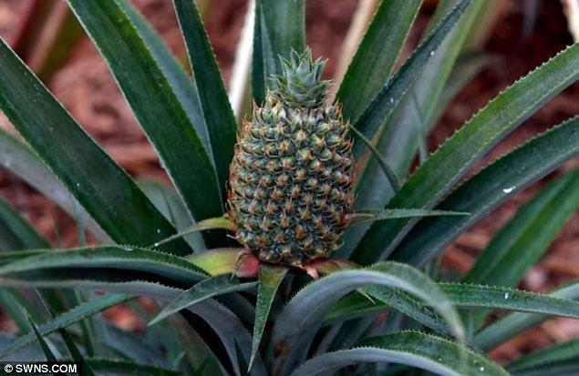 1. Kornişon Ananas: