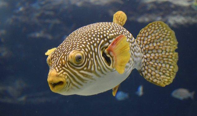 10. Fugu (Balon Balığı)