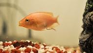 Moli Balığı Özellikleri ve Türleri Nelerdir? Moli Balığı Nasıl Beslenir? Bakımı Nasıl Yapılır? Moli Balığı Bakımı Kolay mıdır?