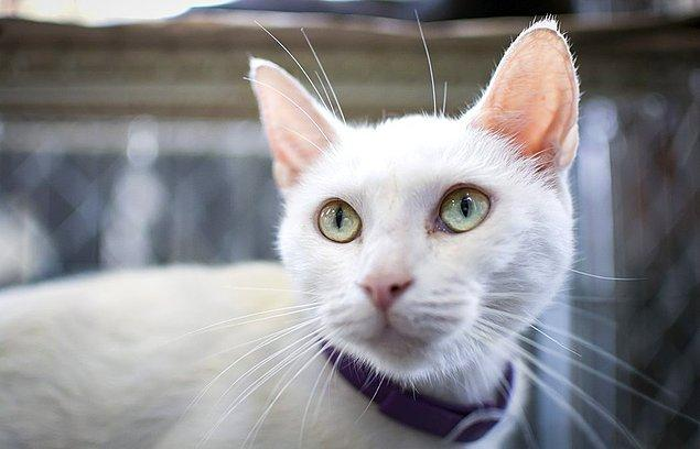 Kemirgenler (Rodentia) yüksek frekansta iletişim kurarlar. Bunun doğal bir sonucu olarak kediler de bu sesleri tespit etmek üzere evrilmiş bir kulak kanal yapısı ve kafa tasına sahiptir.