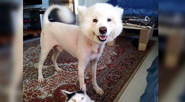 Köpeklerde 8 haftalıktan 9 aylığa kadar yaptırılması gerken aşılar.