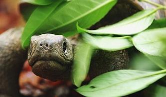 BBC Belgeseline Konuk Olan Şempanze Sürüsünün, Aralarına Giren Robot Kaplumbağaya Verdikleri Efsane Tepkiler!