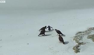 Yırtıcı Kuşların Etrafını Sardığı Minik Pengueni Kurtaran Ördekler!