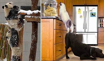 Birbirinden Minnoş Hayvanların İmkansızı Başararak Ağzımızı Açık Bıraktığı Durumlar