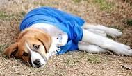 Yaşama Tutunamadı: Okullu Köpek 'Fındık' Tedavi Gördüğü Klinikte Hayatını Kaybetti