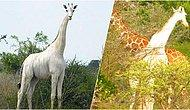 Kenya'nın Tek Kalan Dişi Beyaz Zürafası ve Yavrusu Kaçak Avcılar Tarafından Öldürüldü!